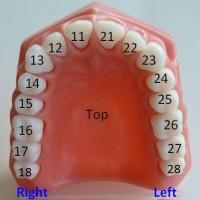 Нумерация зубов.